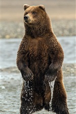 Preview iPhone wallpaper Bear standing in the water