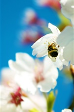 Preview iPhone wallpaper Bee and snow-white pear flowers