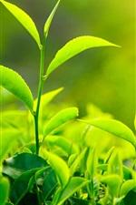 미리보기 iPhone 배경 화면 신선한 녹차 잎, 햇빛
