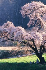 Preview iPhone wallpaper Japanese landscape, the cherry blossom