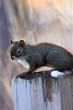 Preview iPhone wallpaper Little squirrel on a tree stump, blurred background