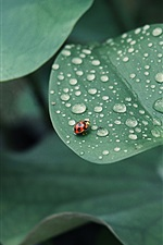 Preview iPhone wallpaper Lotus leaf, ladybug, drops of water, insects, green