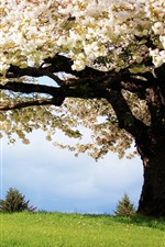 Preview iPhone wallpaper Nature spring, the cherry trees, white cherry blossoms in full bloom