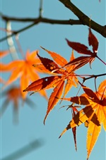 Preview iPhone wallpaper Red maple leaves, blue sky background