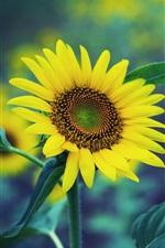Spring sunflower, yellow flowers, green fuzzy background