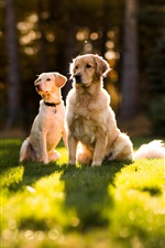 Preview iPhone wallpaper Two dogs in the sun on the grass