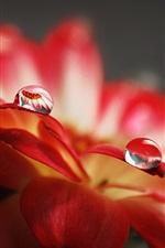Water droplets macro of red flower petals