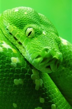 Preview iPhone wallpaper Wildlife, green snake