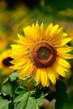 Vorschau des iPhone Hintergrundbilder Gelbe Blume, Sonnenblume, Sommer sonnig, verwischen Hintergrund