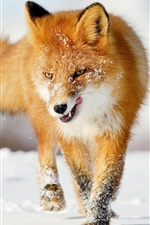 Preview iPhone wallpaper A fox in the winter snow