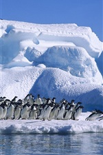 Preview iPhone wallpaper Antarctica Adelie penguins, sea, snow and ice