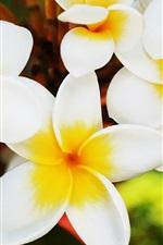 Blooming flores frangipani close-up