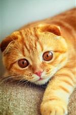 Preview iPhone wallpaper Cat portrait, Scottish Fold, yellow color