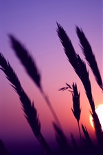Preview iPhone wallpaper Evening, sunset, purple sky, grass silhouette