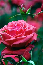 Preview iPhone wallpaper Garden of red roses close-up