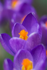 Spring flowers close-up, purple crocuses