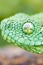 Preview iPhone wallpaper The green African tree viper