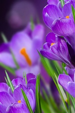 Preview iPhone wallpaper Crocuses violet flowers macro photography
