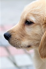Preview iPhone wallpaper Dog photos, retriever side close-up