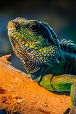 Preview iPhone wallpaper Green iguana in the tree branch