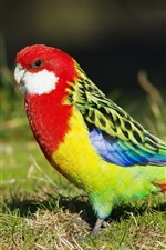 Preview iPhone wallpaper Ground parrot bird