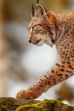 Preview iPhone wallpaper Lynx hunting, predator animals