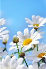 Preview iPhone wallpaper Nature flowers photography, daisies, petals, blue sky