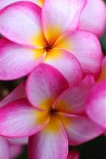 미리보기 iPhone 배경 화면 근접 핑크 꽃, plumeria 꽃