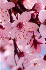 Preview iPhone wallpaper Spring flowers in full bloom, pink cherry blossoms