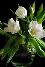 Vase, white tulip flowers, black background