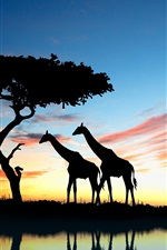 Preview iPhone wallpaper Africa giraffe and elephant at sunset, lake reflection