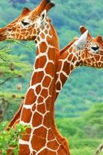 Preview iPhone wallpaper Africa giraffe close-up