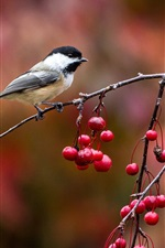 Birds close-up, chickadee, twig and berries, autumn