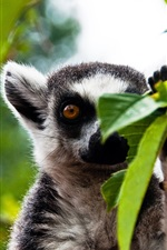 Preview iPhone wallpaper Forest lemur
