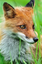 Preview iPhone wallpaper Fox in the bushes