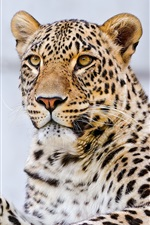 Preview iPhone wallpaper Leopard paw, whiskers, eyes, macro photography