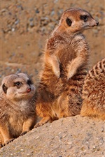 Preview iPhone wallpaper Meerkats family