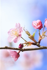 Spring cherry blossoms close-up, blurred background