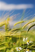 Summer wheat and wildflowers