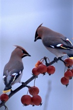 Preview iPhone wallpaper Two birds standing in the berries tree branch