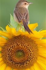 Preview iPhone wallpaper A bird standing on sunflower flower top