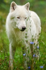 Preview iPhone wallpaper Arctic wolf predator