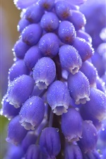Preview iPhone wallpaper Blue muscari flowers macro photography, water drops