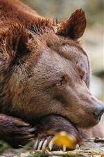 Preview iPhone wallpaper Brown bear at rest