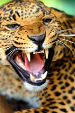Preview iPhone wallpaper Cheetah facial features, sharp teeth