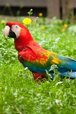 Preview iPhone wallpaper Colorful parrot bird in the grass