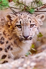 Preview iPhone wallpaper Cute snow leopard, face close-up, predator animals