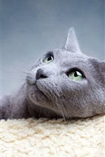 Preview iPhone wallpaper Gray cat divert attention