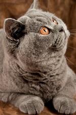 Gato cinzento surpreso expressão
