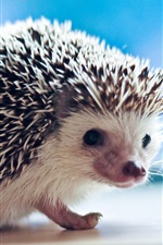 Preview iPhone wallpaper Hedgehog macro photography